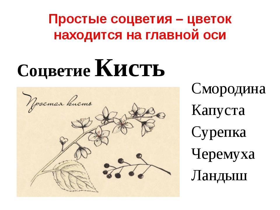 Простые соцветия – цветок находится на главной оси Соцветие Кисть Смородина К...