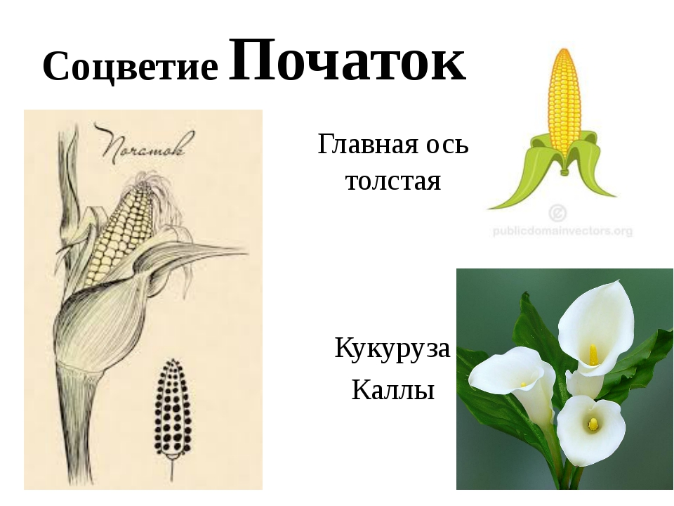 Соцветие Початок Главная ось толстая Кукуруза Каллы