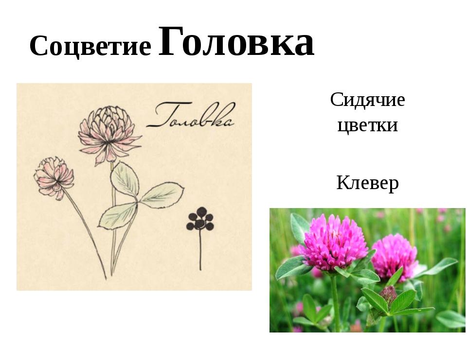 Соцветие Головка Сидячие цветки Клевер