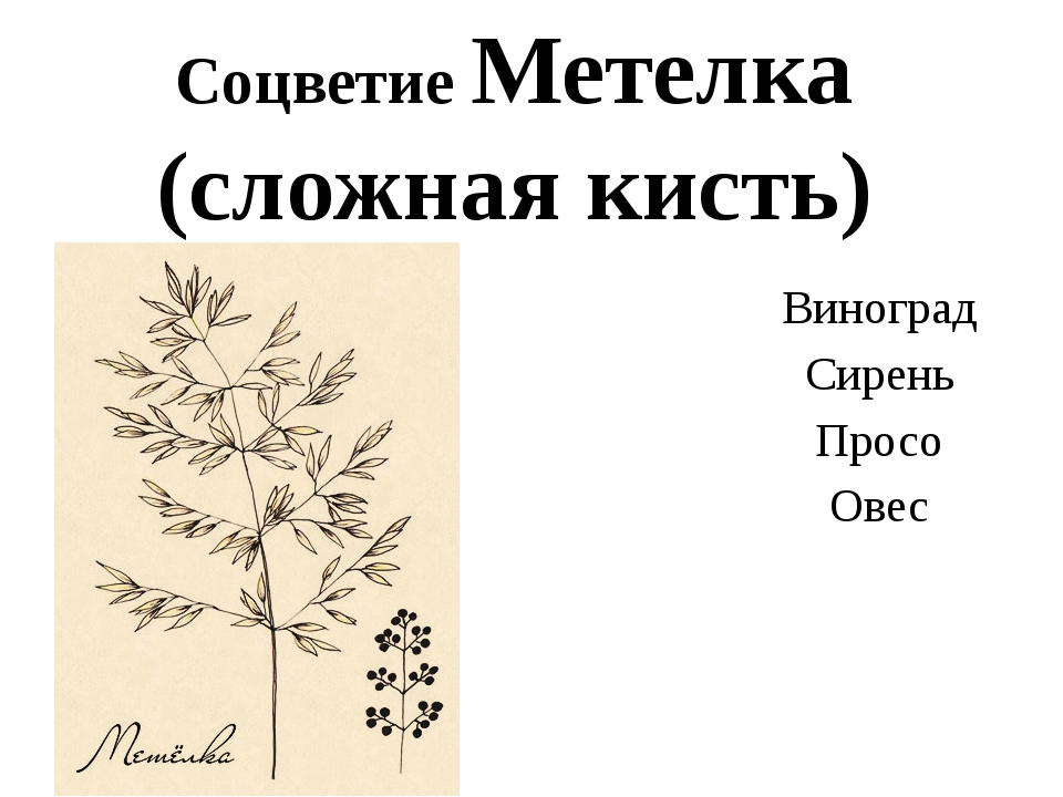 Соцветие Метелка (сложная кисть) Виноград Сирень Просо Овес