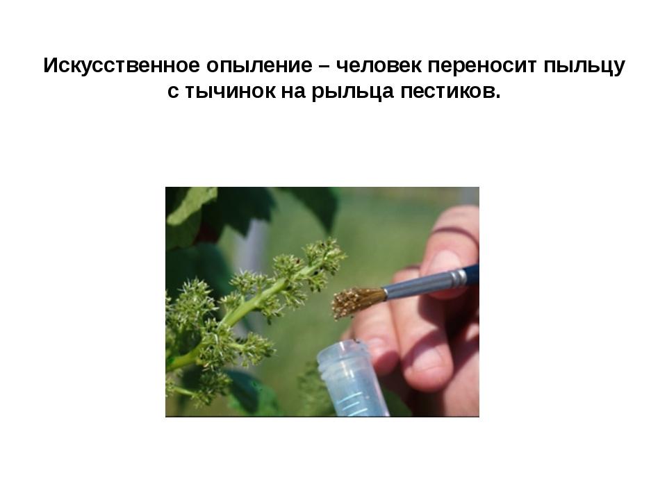Искусственное опыление – человек переносит пыльцу с тычинок на рыльца пестиков.