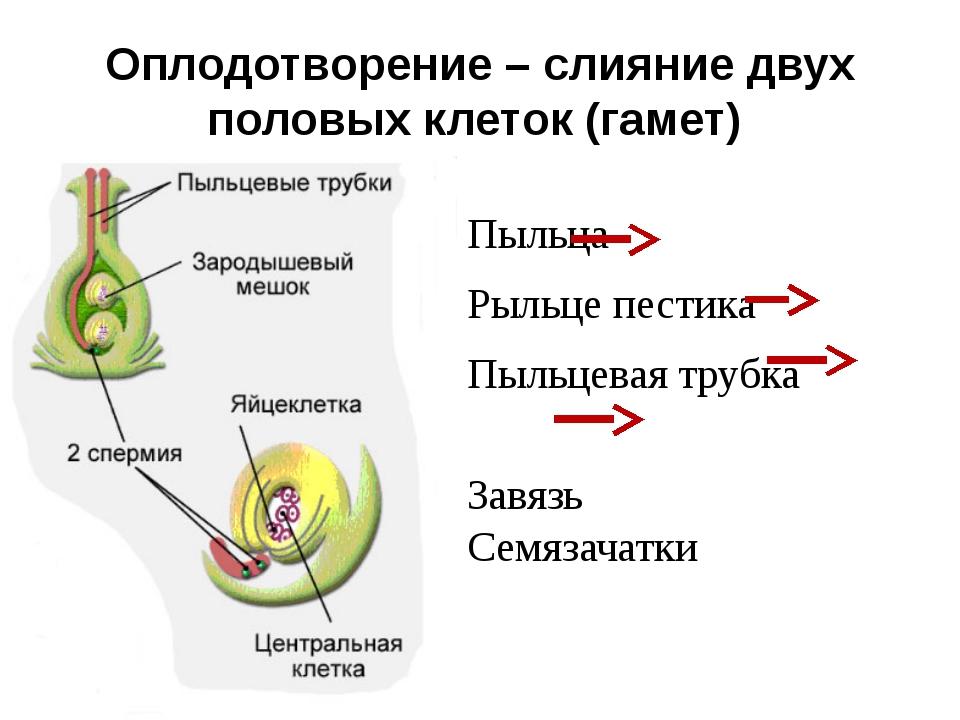 Оплодотворение – слияние двух половых клеток (гамет) Пыльца Рыльце пестика Пы...