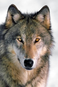 images-of-wolves