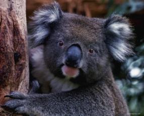 C:\Users\Людмила\Desktop\koala.jpg