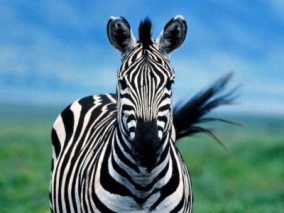 _light-253511-zoe-my-female-zebra