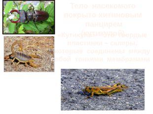 Тело насекомого покрыто хитиновым панцирем (кутикулой). «Кутикула» – это твер