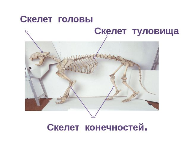Скелет головы Скелет туловища Скелет конечностей.