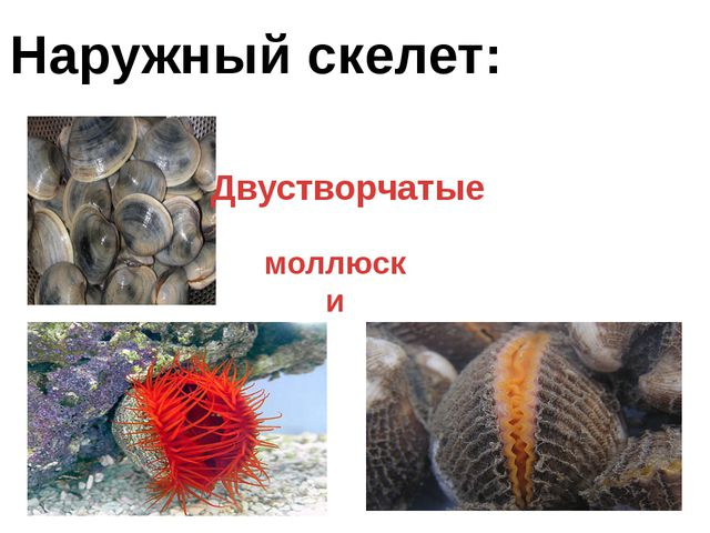 Наружный скелет: моллюски Двустворчатые