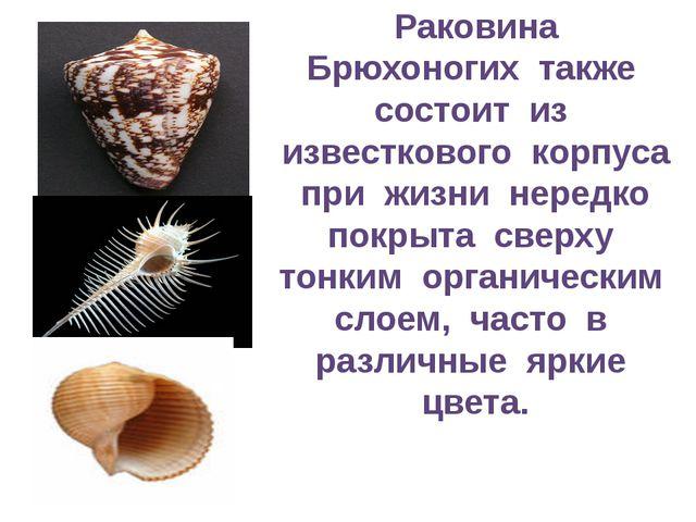 Раковина Брюхоногих также состоит из известкового корпуса при жизни нередко п...