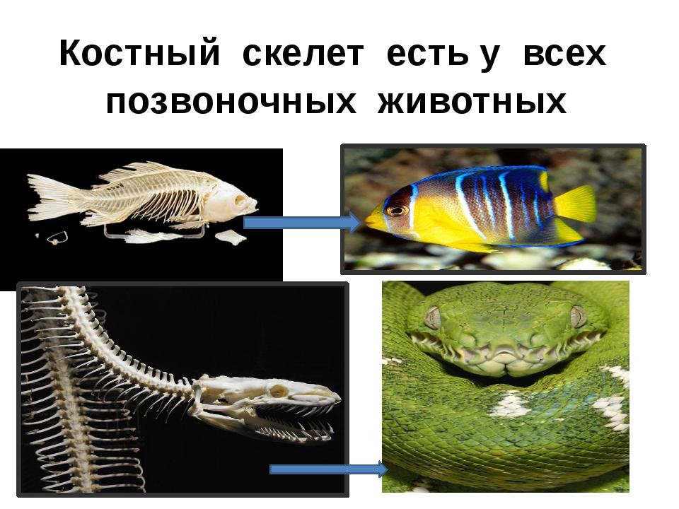 Костный скелет есть у всех позвоночных животных