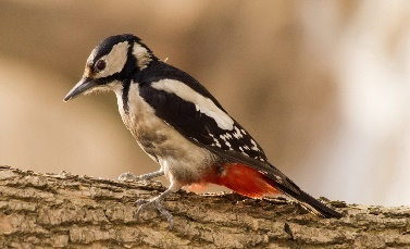 http://img.animal-photos.ru/birds/woodpecker/woodpecker12.jpg