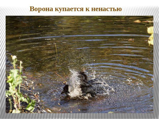 Ворона купается к ненастью