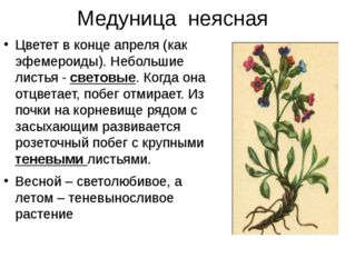 Медуница неясная Цветет в конце апреля (как эфемероиды). Небольшие листья - с