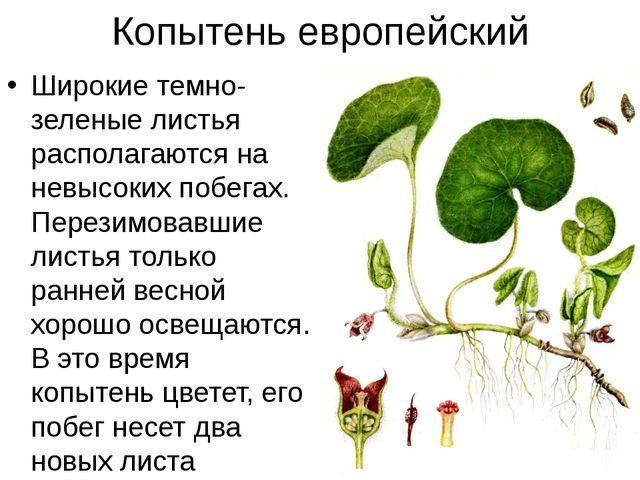 Копытень европейский Широкие темно-зеленые листья располагаются на невысоких...
