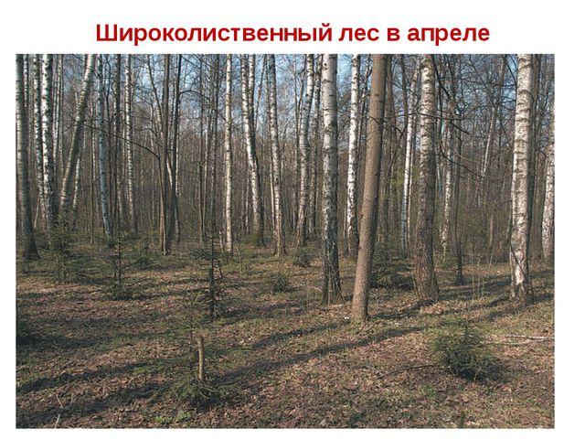 Широколиственный лес в апреле