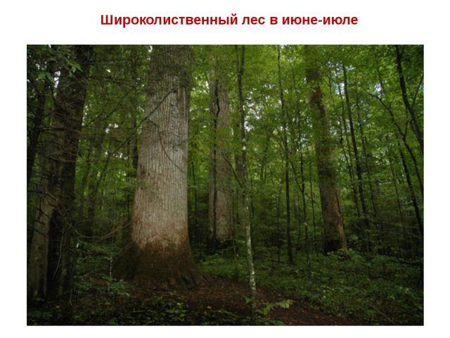 Широколиственный лес в июне-июле