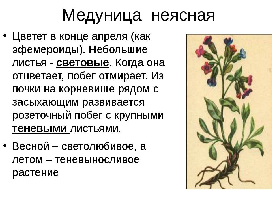 Медуница неясная Цветет в конце апреля (как эфемероиды). Небольшие листья - с...