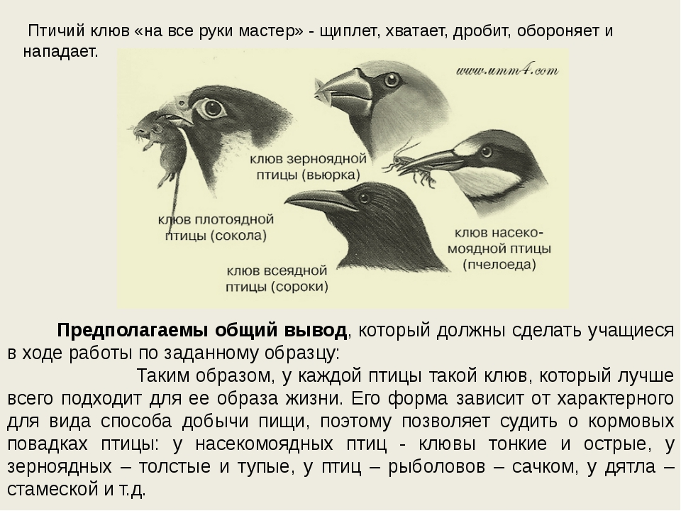Птичий клюв «на все руки мастер» - щиплет, хватает, дробит, обороняет и напа...