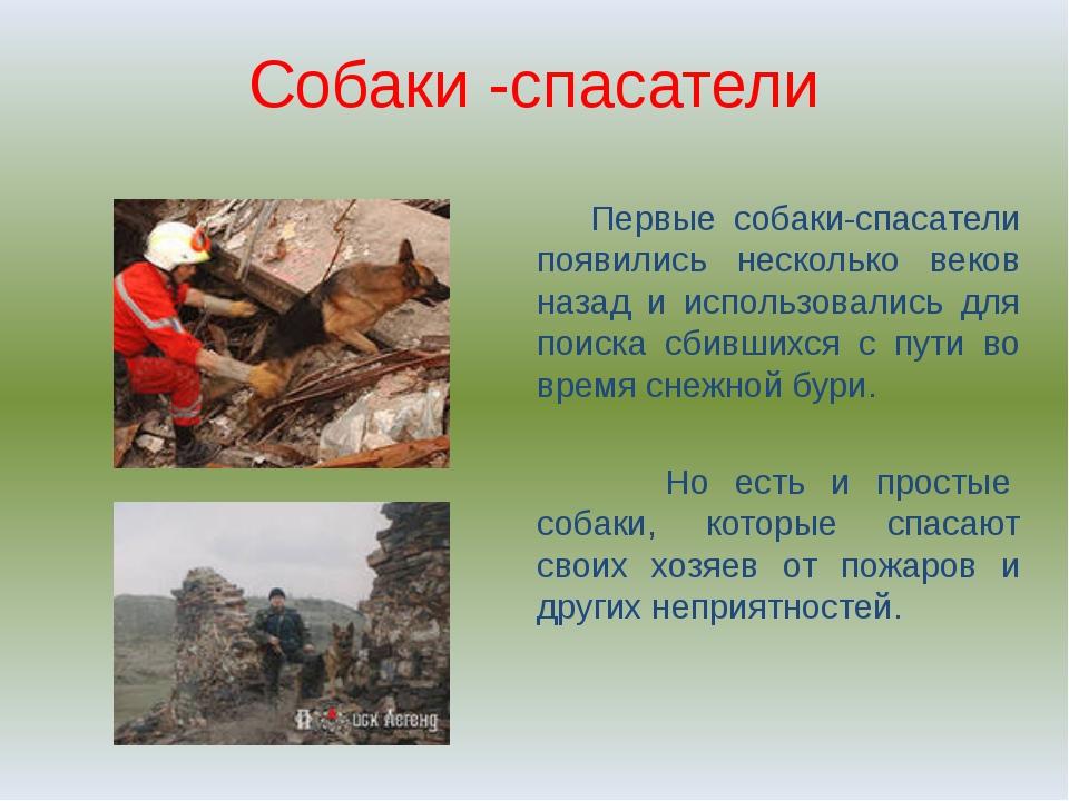 Собаки -спасатели Первые собаки-спасатели появились несколько веков назад и и...