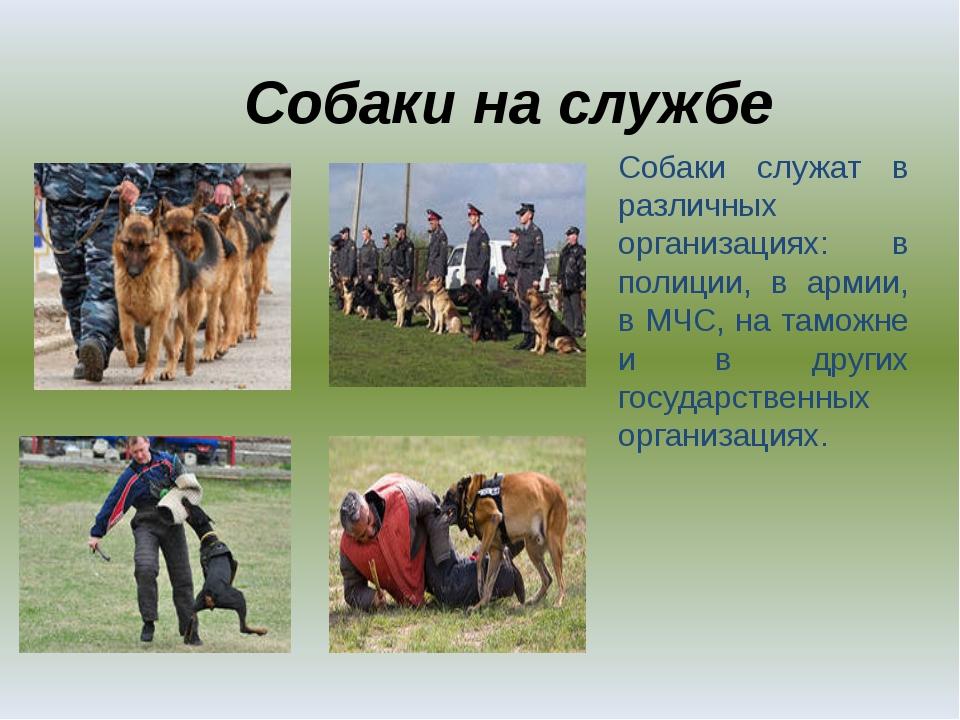 Собаки на службе Собаки служат в различных организациях: в полиции, в армии,...