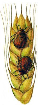 Клоп черепашка вредная (длина тела 12 мм).