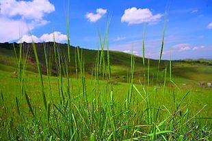 http://upload.wikimedia.org/wikipedia/commons/thumb/d/d3/WildWheat_Erebuni_Reserve.jpg/310px-WildWheat_Erebuni_Reserve.jpg