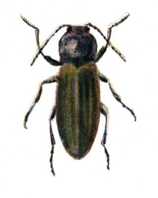 Щелкун полосатый, жук (длина тела 7,5—10 мм).