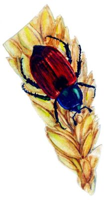 Хлебный жук кузька, жук (длина тела 13—16 мм).