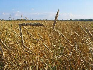 http://upload.wikimedia.org/wikipedia/commons/thumb/d/d1/Wheat_Tomsk.jpg/310px-Wheat_Tomsk.jpg