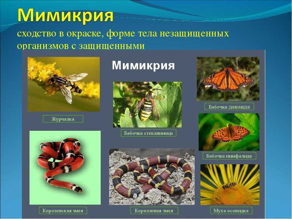 сходство в окраске, форме тела незащищенных организмов с защищенными