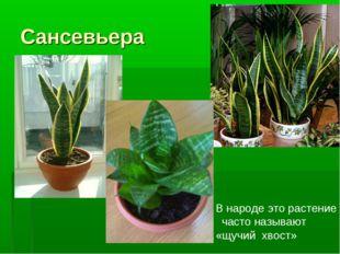 Сансевьера В народе это растение часто называют «щучий хвост»