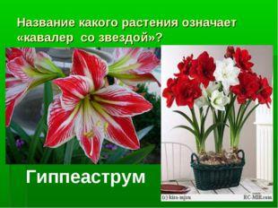 Название какого растения означает «кавалер со звездой»? Гиппеаструм
