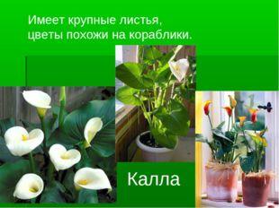 Имеет крупные листья, цветы похожи на кораблики. Калла