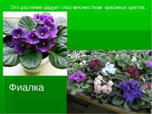 Это растение радует глаз множеством красивых цветов. Фиалка