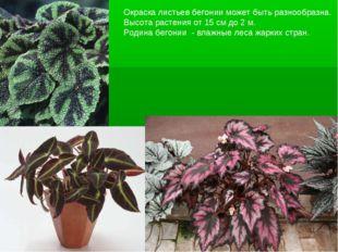 Окраска листьев бегонии может быть разнообразна. Высота растения от 15 см до