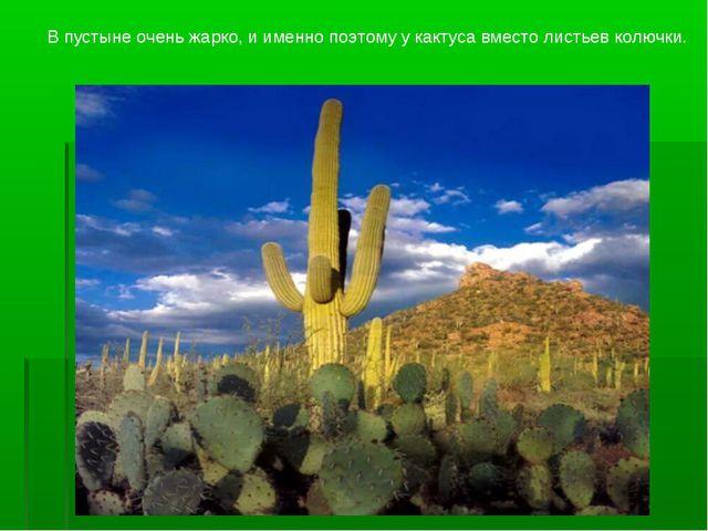 В пустыне очень жарко, и именно поэтому у кактуса вместо листьев колючки.