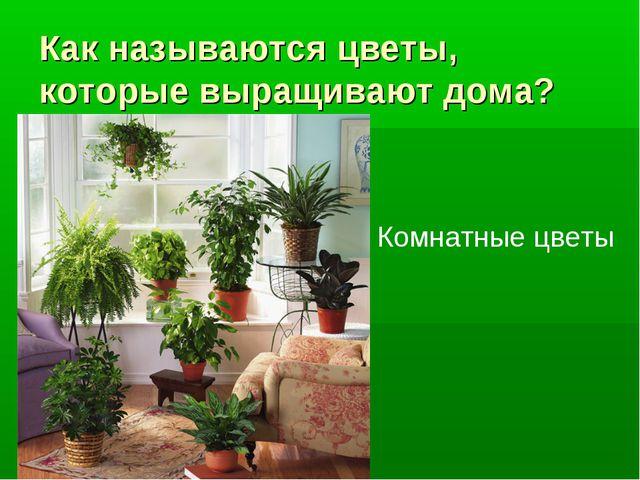 Как называются цветы, которые выращивают дома? Комнатные цветы