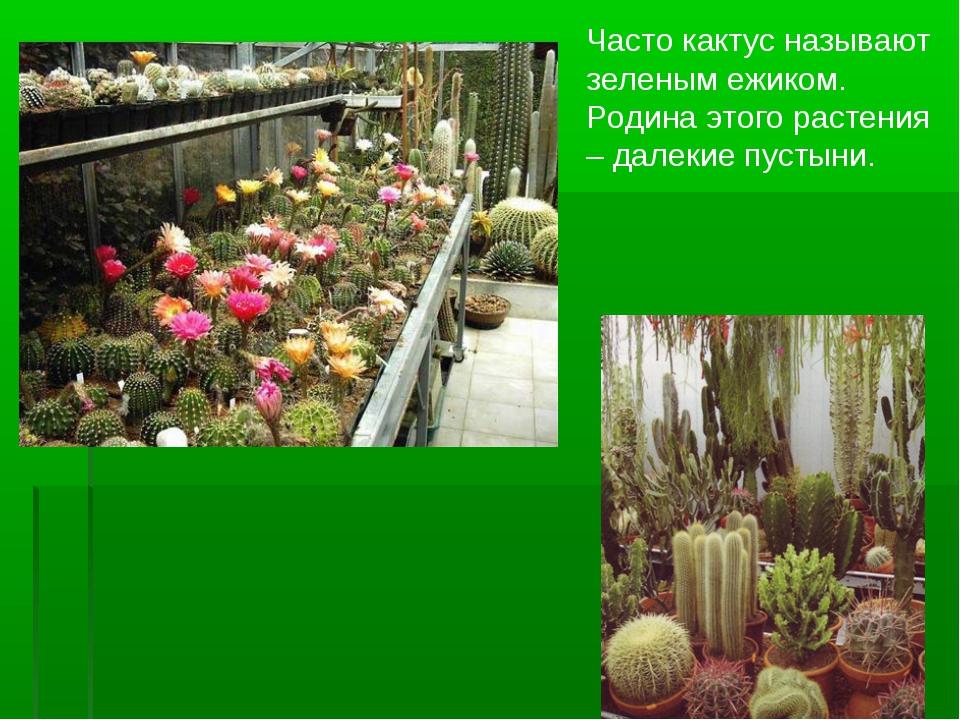 Часто кактус называют зеленым ежиком. Родина этого растения – далекие пустыни.