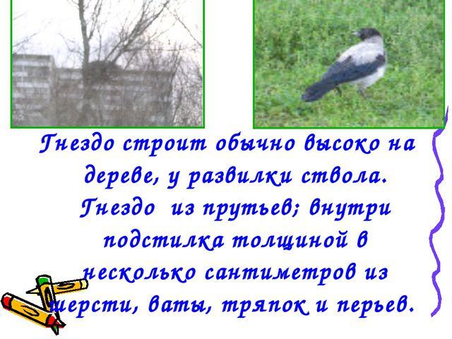 Гнездо строит обычно высоко на дереве, у развилки ствола. Гнездо из прутьев;...