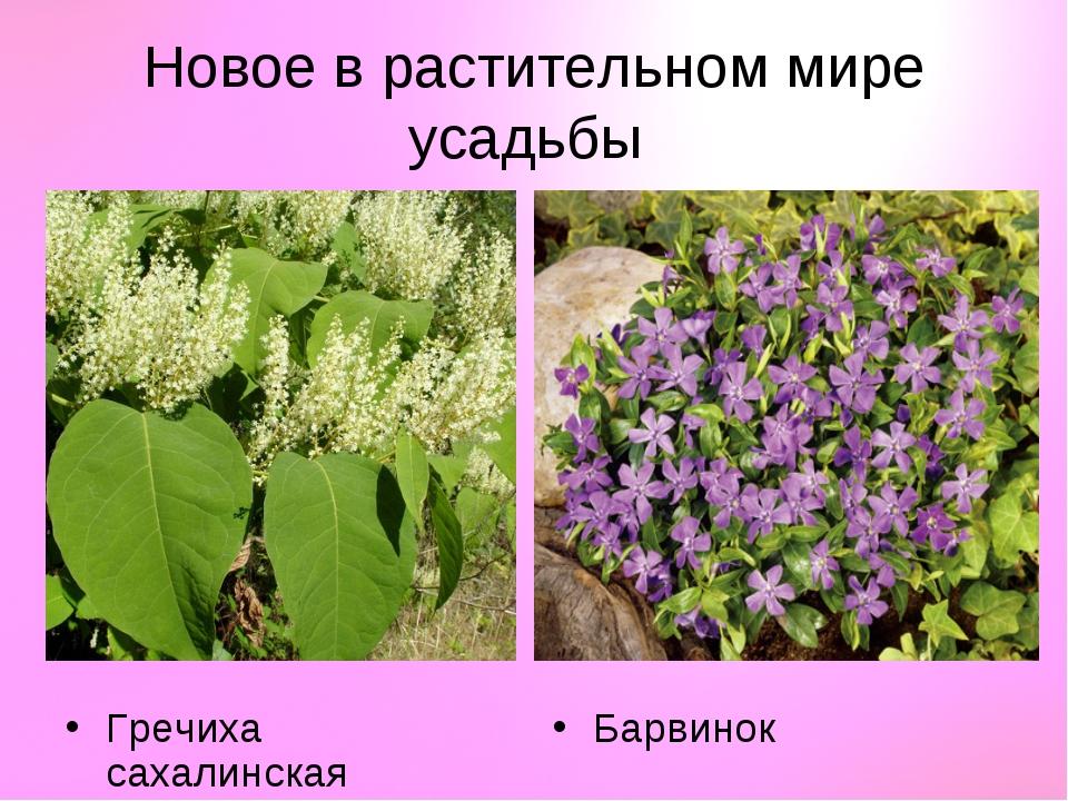 Новое в растительном мире усадьбы Гречиха сахалинская Барвинок