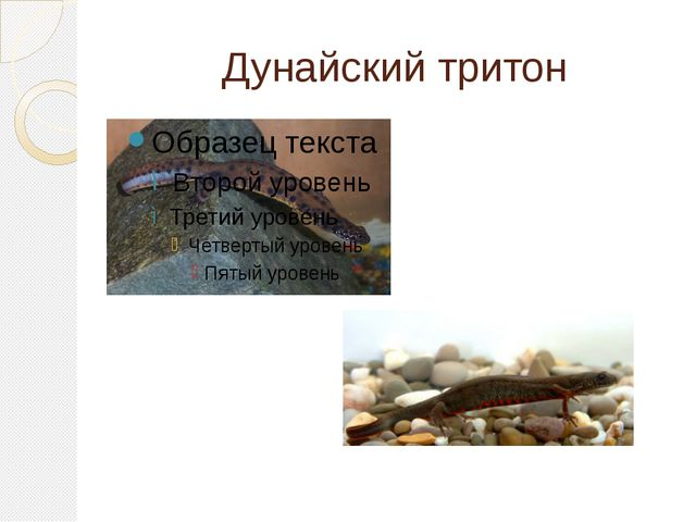 Дунайский тритон