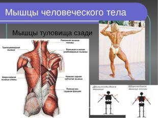 Мышцы человеческого тела Мышцы туловища сзади
