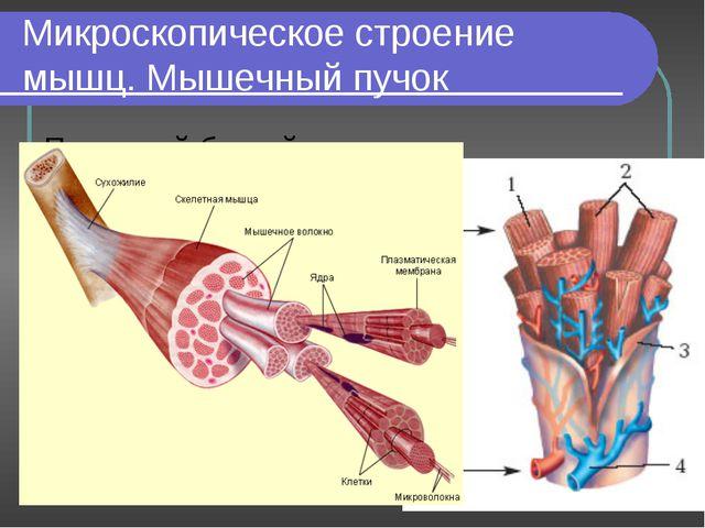 Микроскопическое строение мышц. Мышечный пучок Под какой буквой обозначены гл...