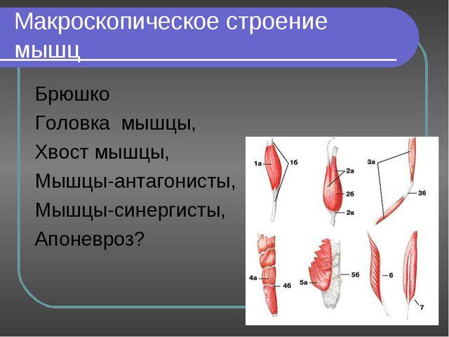 Макроскопическое строение мышц Брюшко Головка мышцы, Хвост мышцы, Мышцы-антаг...