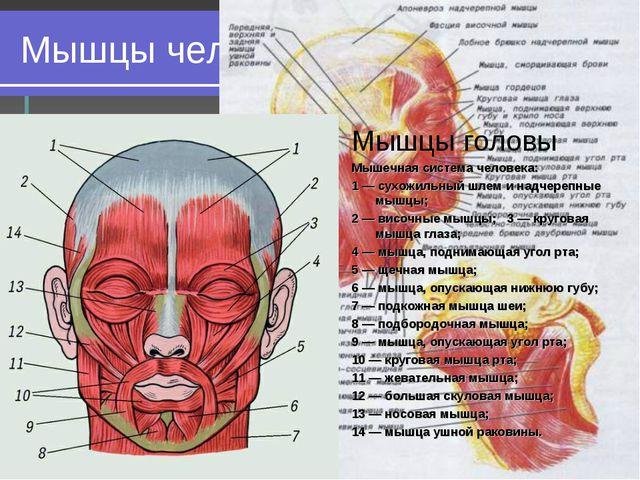 Мышцы человеческого тела Мышцы головы Мышцы головы Мышечная система человека:...