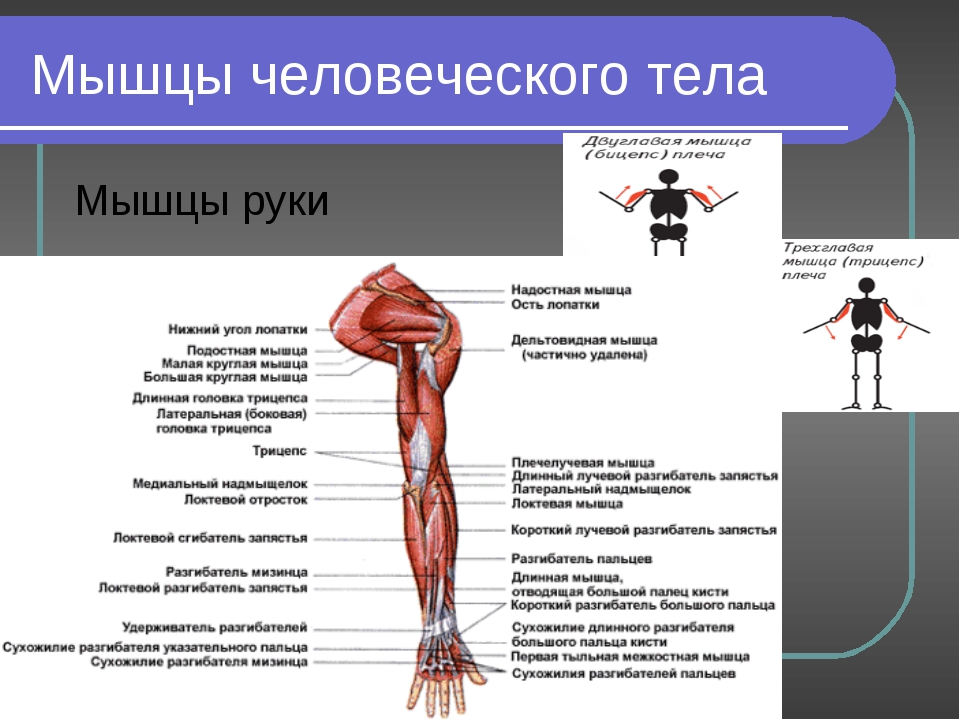 Лабораторная работа мышцы человеческого тела 8 класс ответы