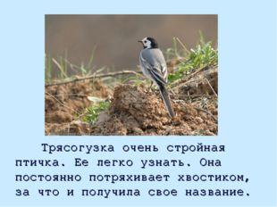 Трясогузка очень стройная птичка. Ее легко узнать. Она постоянно потряхивает