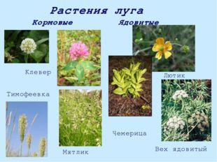 Растения луга Кормовые Ядовитые Мятлик Тимофеевка Клевер Чемерица Лютик Вех