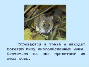 Скрываются в траве и находят богатую пищу многочисленные мыши. Охотиться на