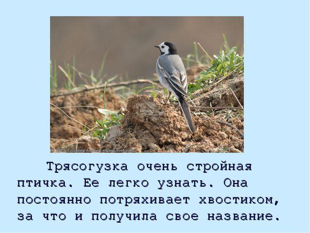 Трясогузка очень стройная птичка. Ее легко узнать. Она постоянно потряхивает...